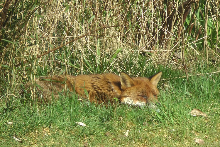 The view from the Once Bitten.... edit suite - a sleepy urban fox!